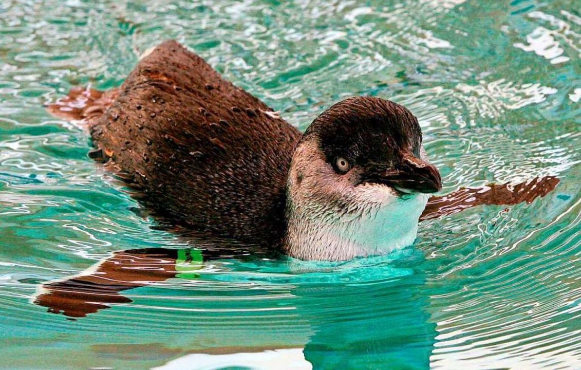 Zwerpinguine sind die kleinste Pinguinart.    Foto: epa Pool