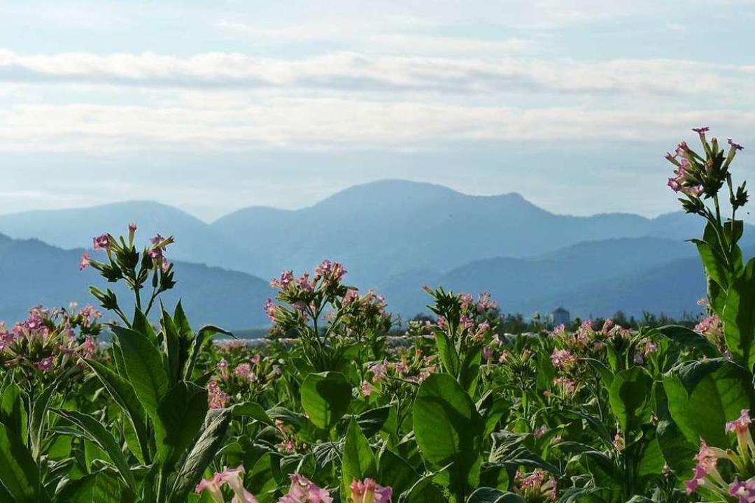 Der Belchen und sein markanter Gipfel ... Feld  blühender Tabakpflanzen gesehen  | Foto: Sattelberger