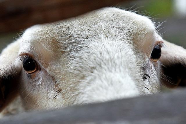 70 000 Schafe auf dem Weg in den Tod