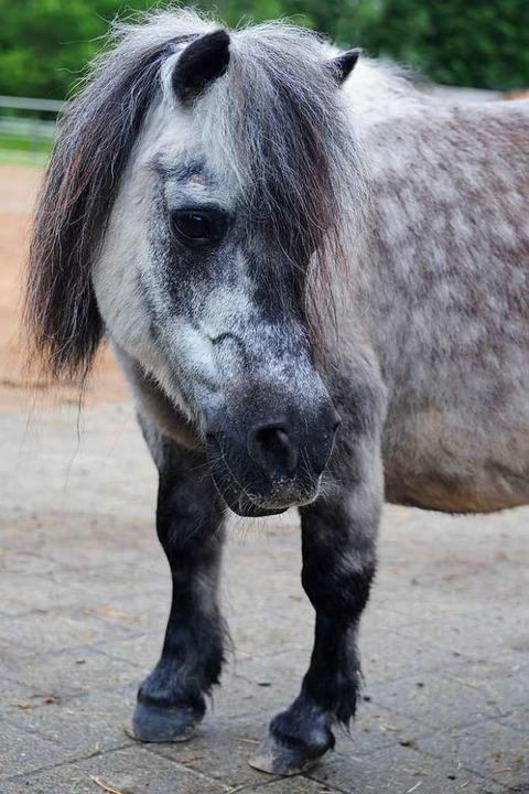Der Älteste: der Mini-Pony-Hengst bewe...Knochen machen einfach nicht mehr mit.  | Foto: Andrea Schiffner