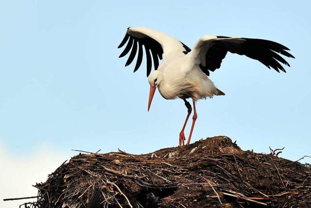 Storch im Nest (Symbolfoto)  | Foto: Carsten Rehder