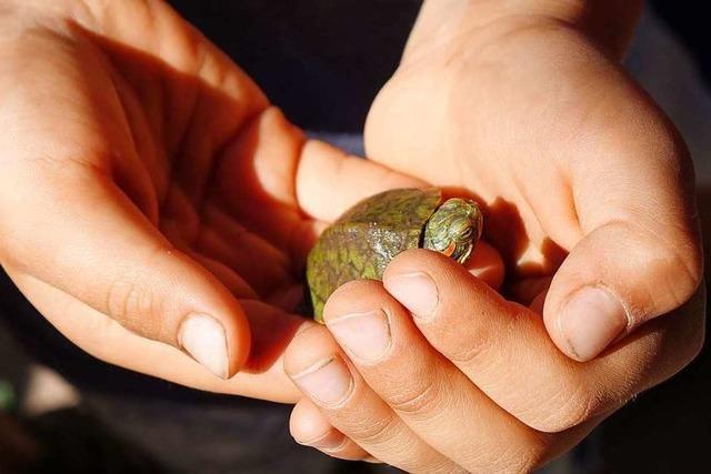 Schildkröten entwickeln sich zum Problem für die Umwelt