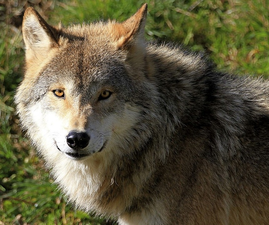 Auch wenn Wölfe kuschelig aussehen kön... Kuscheltiere sind sie sicher nicht.    | Foto: Hubertus Ulsamer