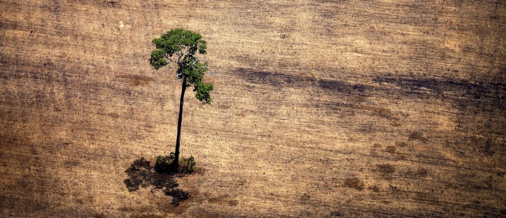 Hier steht nur noch ein Baum – w...nd abgeholzte Fläche im Amazonasgebiet    Foto: RAPHAEL ALVES