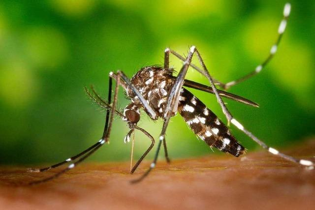 Der Kreis Lörrach bittet die Bevölkerung um Hilfe bei der Bekämpfung der Tigermücke
