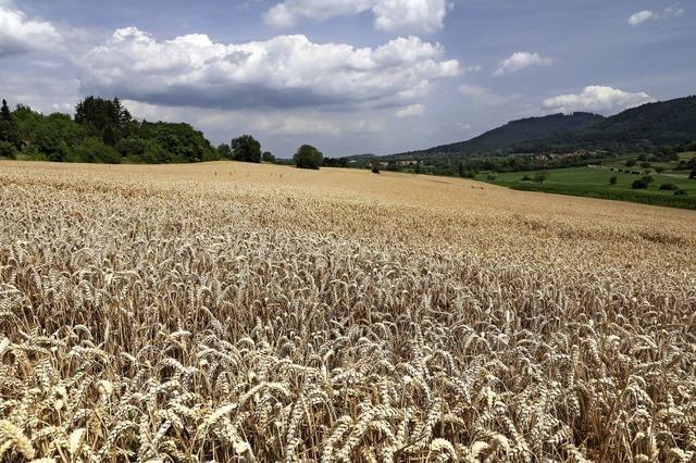 Teppich aus Getreide bei Friesenheim