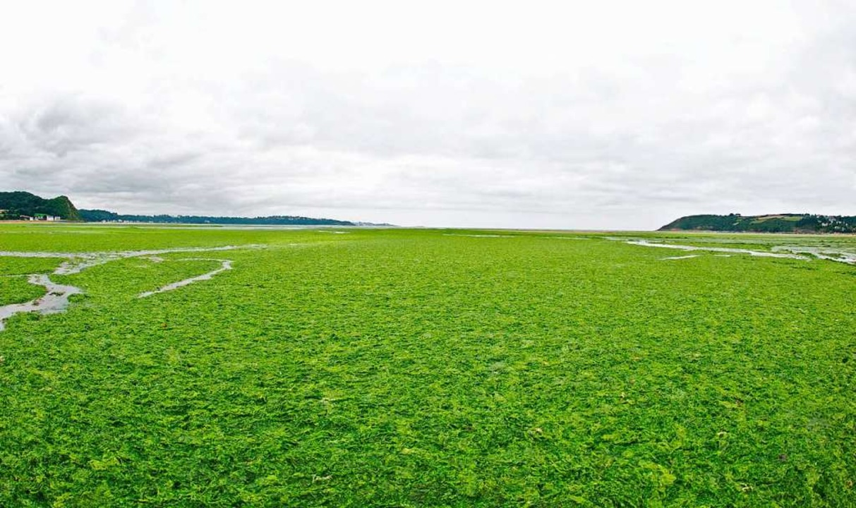 Schier unendlich zieht sich der breton... und mit ihm die grüne Pest der Algen.  | Foto: dpa