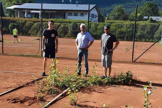 Auf den Plätzen des Tennisclubs in Rheinfelden-Herten wuchern Pappelwurzeln