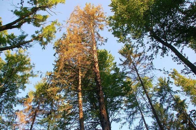 Der Wald im Landkreis Lörrach bekommt ein anderes Gesicht