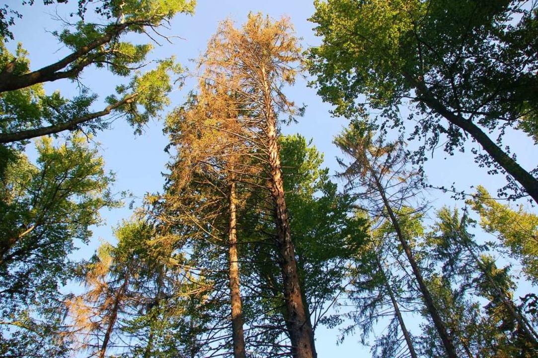 Braune Baumkronen an den Fichten, hier...sen auf Befall durch  Borkenkäfer hin.  | Foto: Petra Wunderle