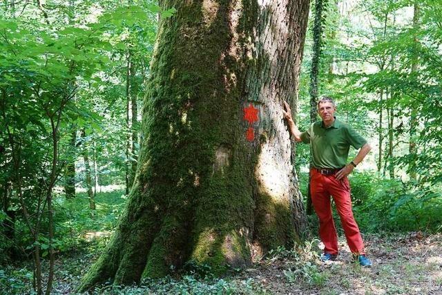 Das ist der dickste Baum im Kanton Aargau