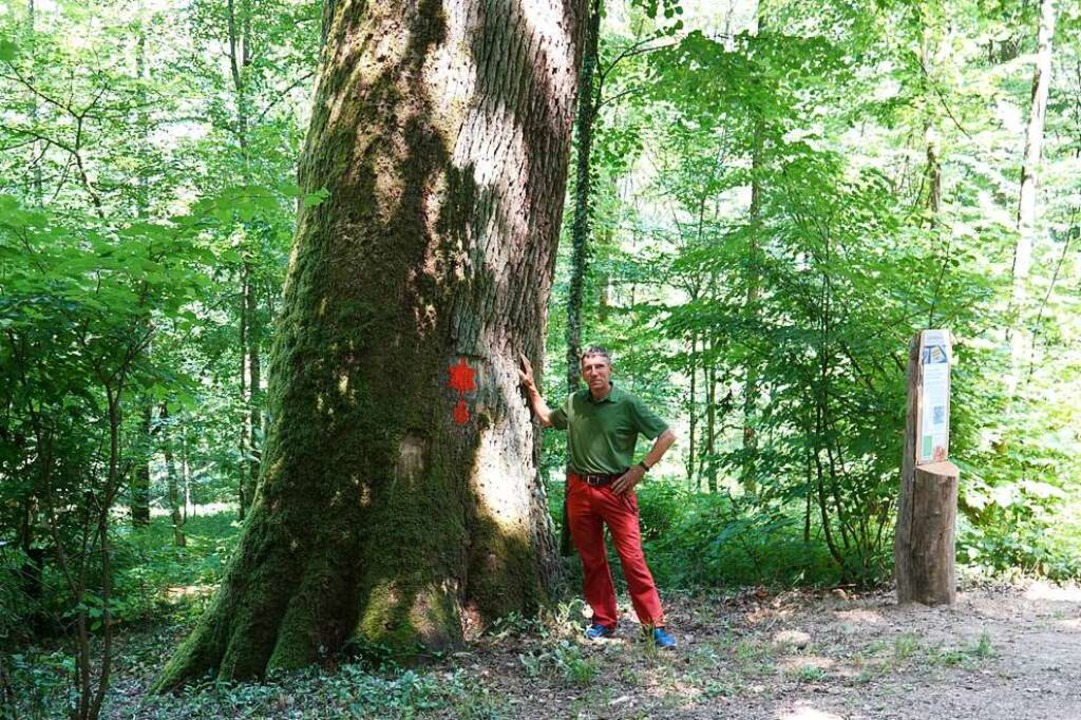 Ein mächtiger Baum: Stadtoberförster Kurt Steck mit der Sterneiche Nummer sechs.  | Foto: Valentin Zumsteg