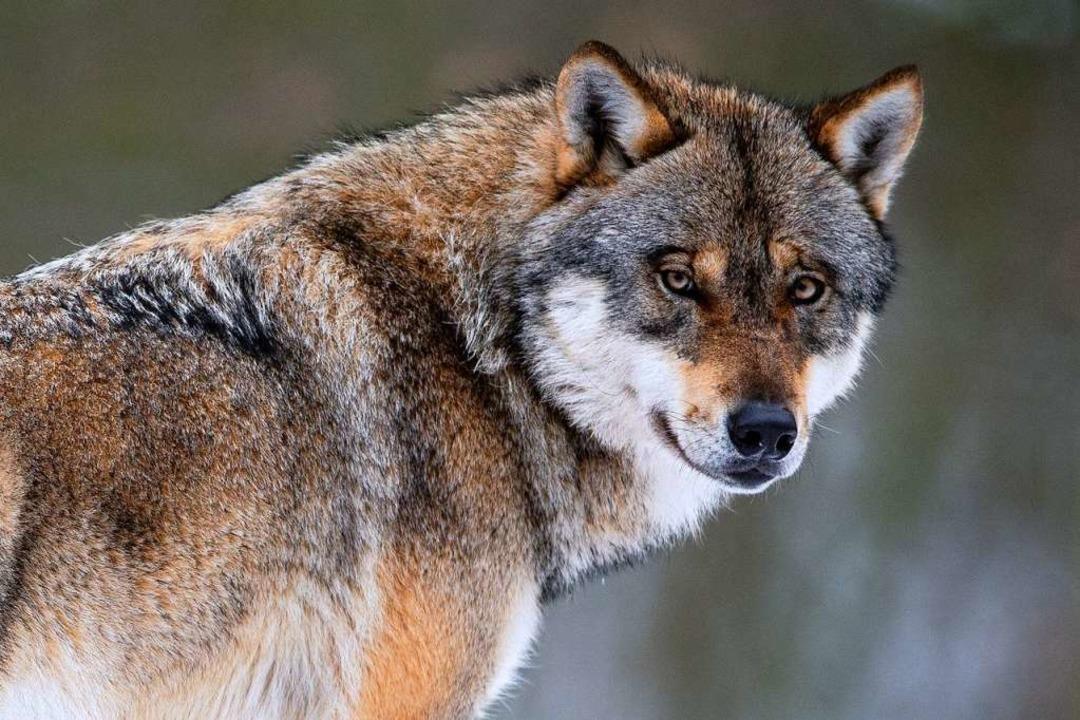 Ein Wolf, wie hier im Bild in einem Wi...t das Umweltministerium am Donnerstag.  | Foto: Swen Pförtner (dpa)