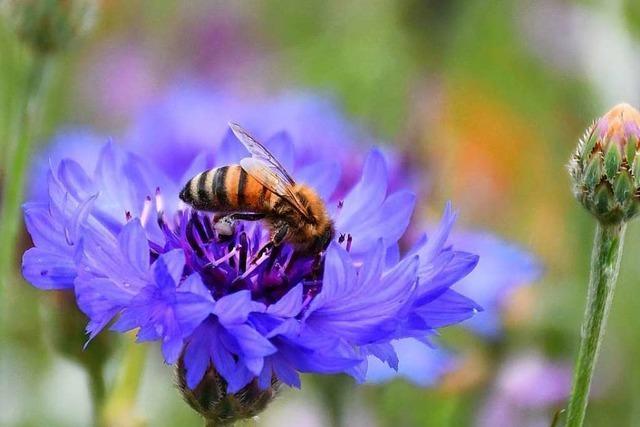 Bienenschutz: Südwest-Initiative noch ehrgeiziger als ihr bayerisches Vorbild