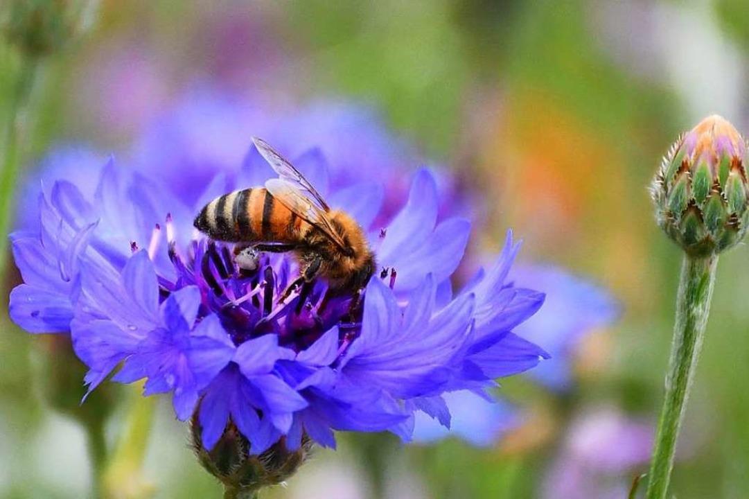 Liebt Streuobstwiesen, verträgt keine Pestizide: die Biene.  | Foto: Barbara Ruda