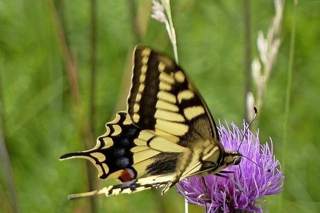 Mit dem BUND zu den Schmetterlingen auf Wiesen und Waldrändern in Fahrnau