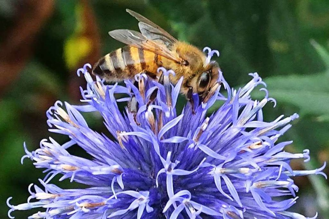 Ein Volksbegehren will Bienen  besser schützen.  | Foto: Gerd Mutter