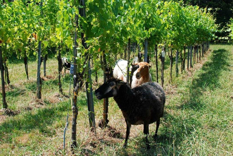 Die Schafe im (W)Einsatz. Wichtig ist,...am unteren Teil des Rebstocks fressen.  | Foto: Louis Groß