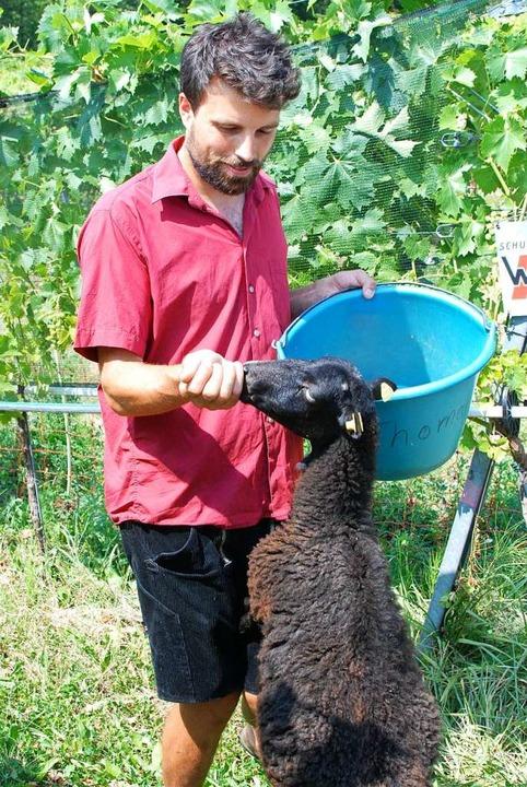 Nicolas Schoof, Doktorand an der Uni F...er den Einsatz von Schafen im Weinbau.  | Foto: Louis Groß