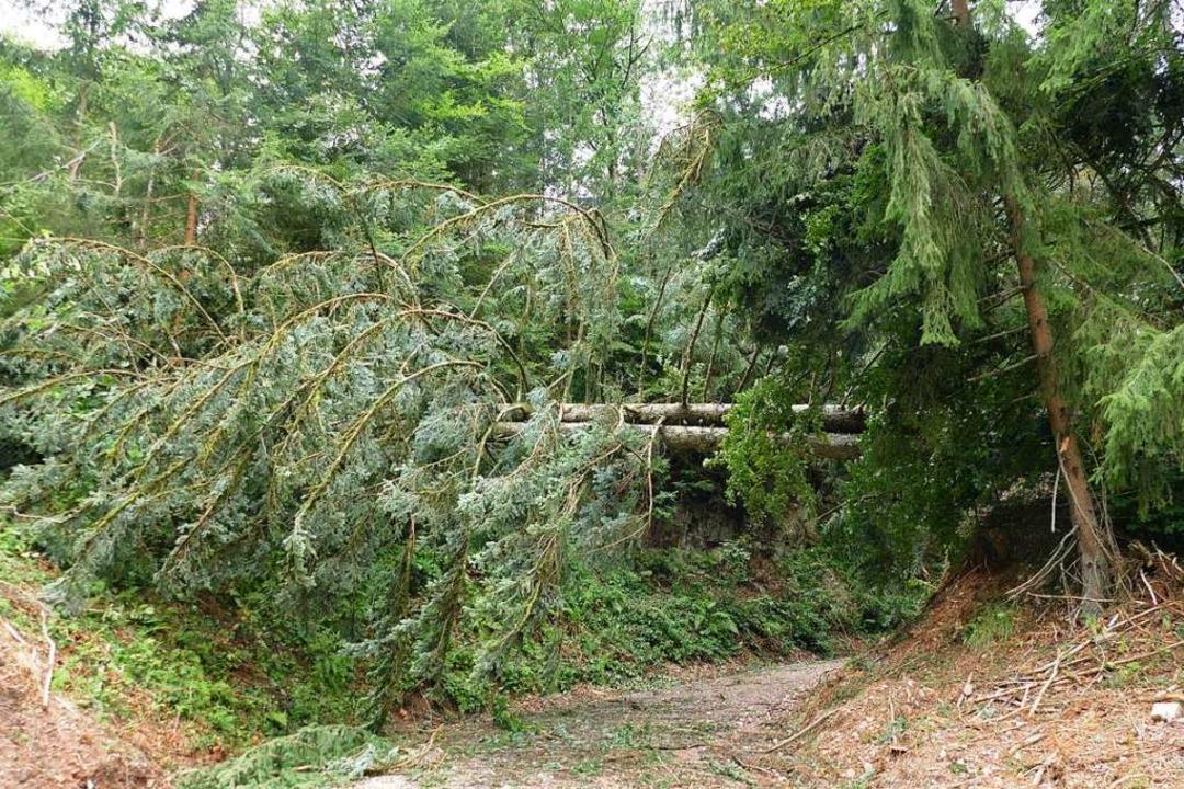 Umgestürzte Bäume blockieren die Forstwege.  | Foto: Juliane Kühnemund