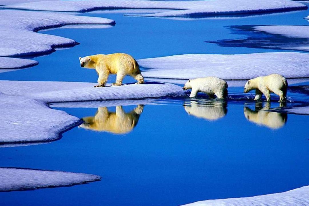 Eisbären leben im Land des Permafrosts...milzt wie Eisberge in der Sommersonne.  | Foto: Hinrich Bäsemann