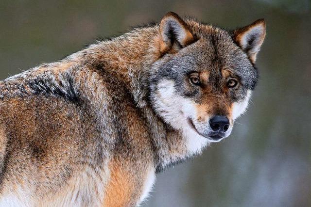 Wolf tappt in die Fotofalle am Feldberg