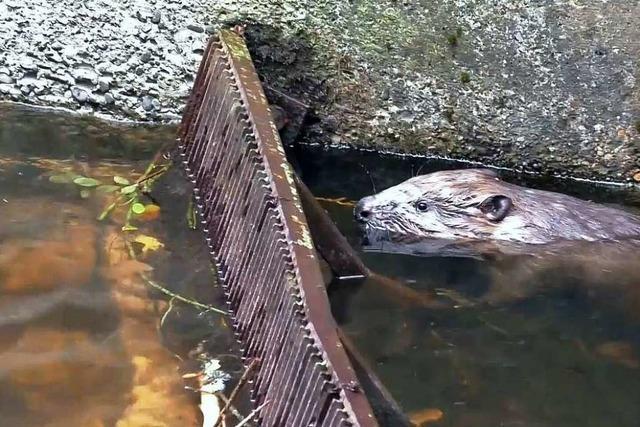 Video: Dramatische Biberrettung am Windgfällweiher