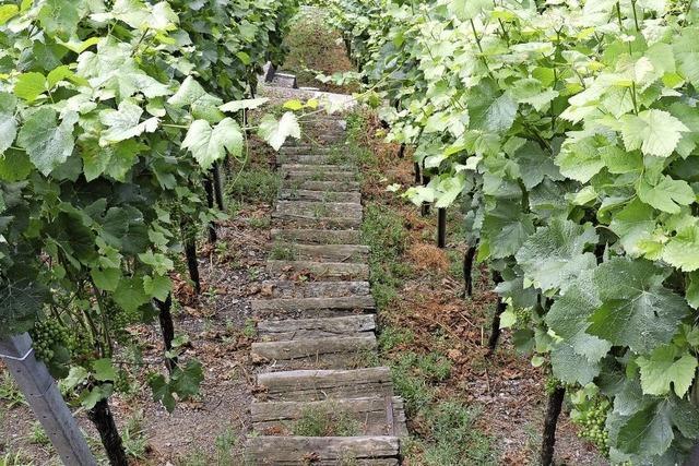 Gute Weinjahre sind schlechte Erlösjahre: Buchholzer Winzer kritisieren Winzerkeller Breisach
