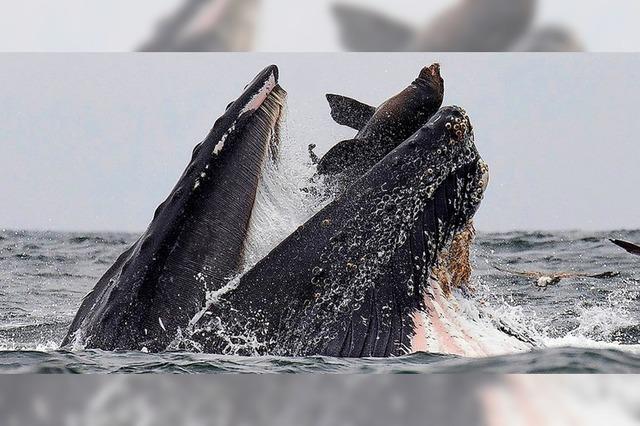Seelöwe fast von Buckelwal verschluckt