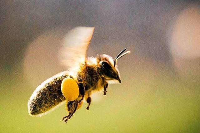 Wie Imker Puderzucker im Kampf gegen Milben einsetzen