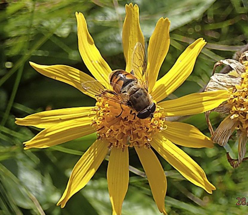 Mistbienen sind regelmäßige Besucher d... Immisberg nordwestlich des Feldbergs.  | Foto: Helgo Bran