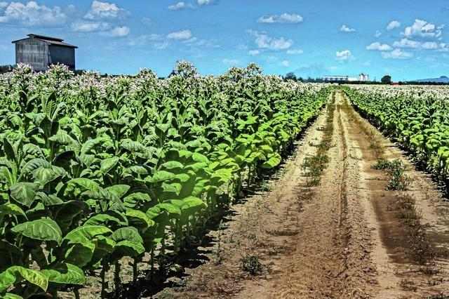 Tabakfelder stehen in voller Blüte