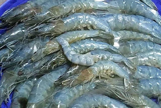 Die Rheinfelder Shrimps-Farm hat ihre erste Ernte ausgeliefert