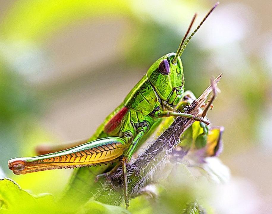 Seltene und vom Aussterben bedrohte Ar...in Weibchen der Kleinen Goldschrecke.   | Foto: Sebastian Schröder-Esch