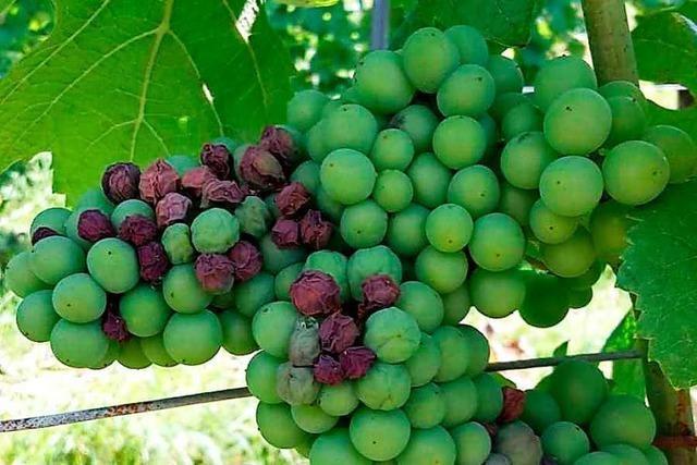 Hitze schädigt Reben in Glottertal – Denzlinger Obstbauern beklagen Wassermangel