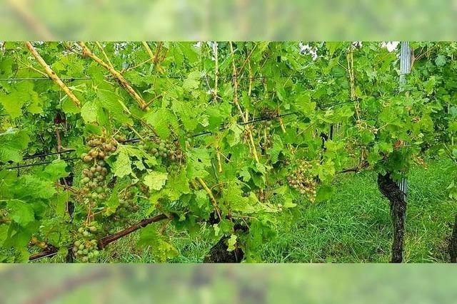 Hagel rund um den Batzenberg sorgt nur vereinzelt für Schäden in den Weinbergen