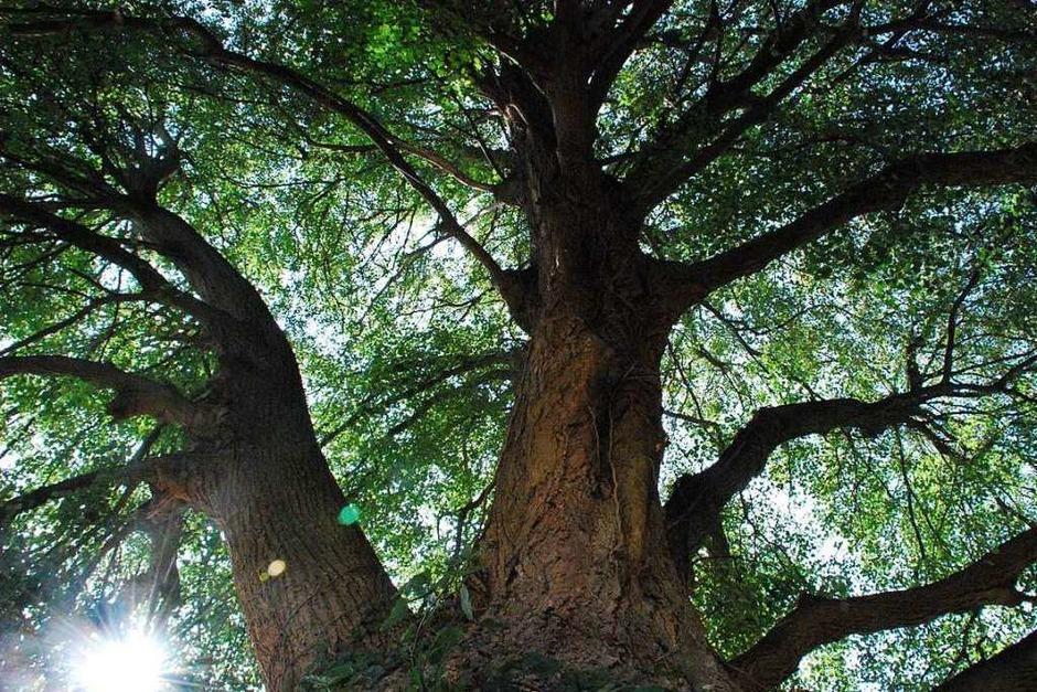 Diese Linde steht in Hammerstein. Vor ein paar Jahren spielte ich öfters mit meinen Geschwistern darunter. Sie ist bestimmt 150-200 Jahre alt und ein riesiger, wunderschöner Baum. (Foto: Lilly Müller)