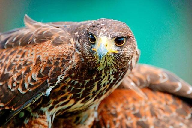 Auch in Malsburg-Marzell haben Raubvögel Joggerinnen angegriffen