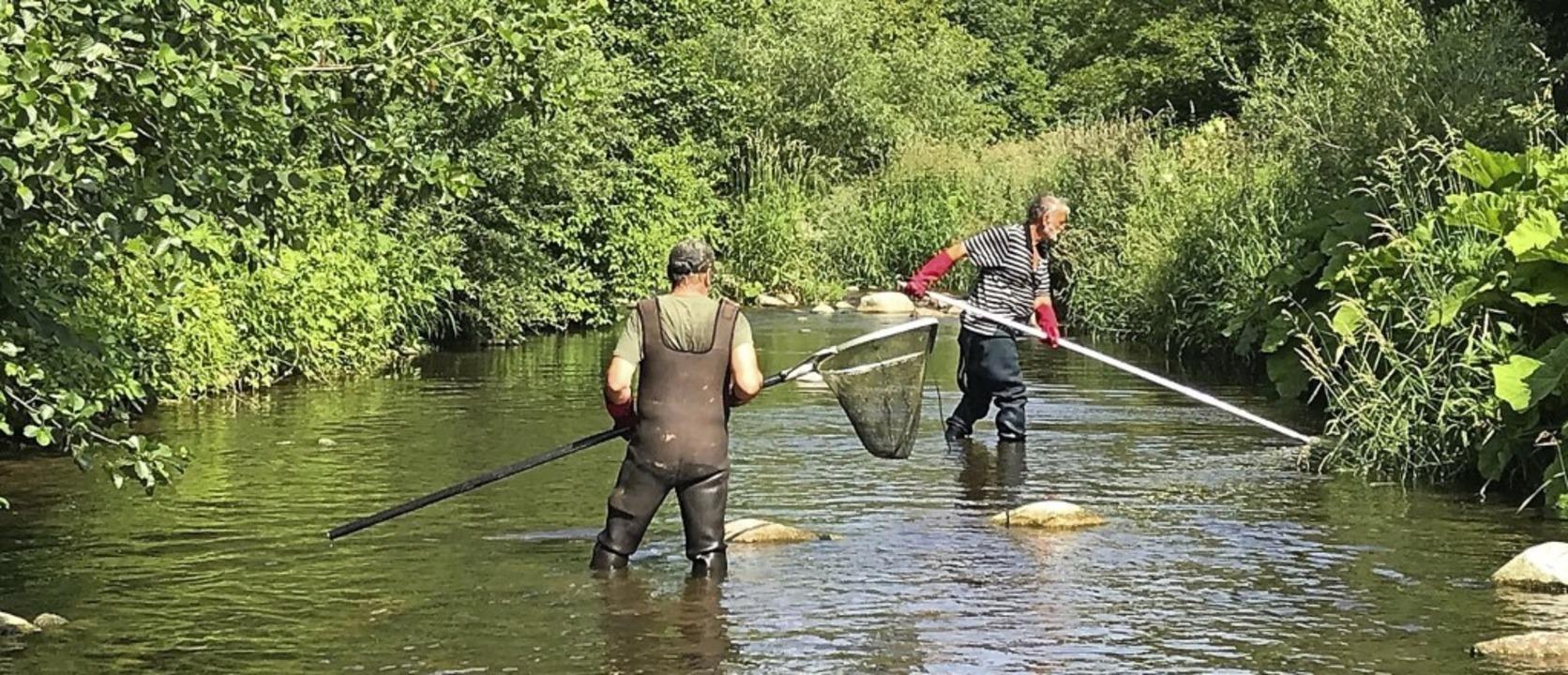 Der Angelsportverein Gurtweil musste j...h Fischen suchen und diese umsiedeln.   | Foto: