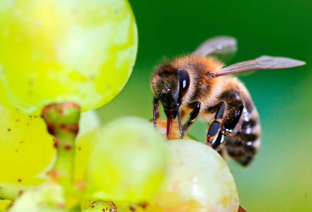Bienen sollen künftig besser geschützt werden – doch wie?  | Foto: Patrick Seeger