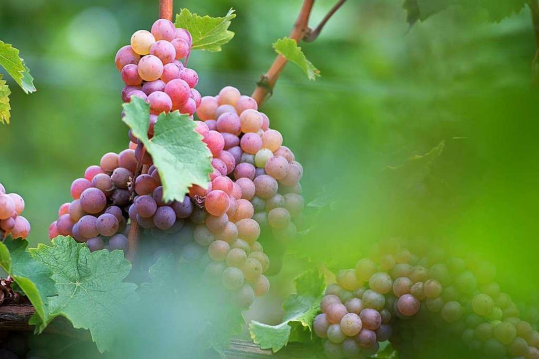 Hat der Weinbau noch eine Chance?  | Foto: Sebastian Kahnert (dpa)