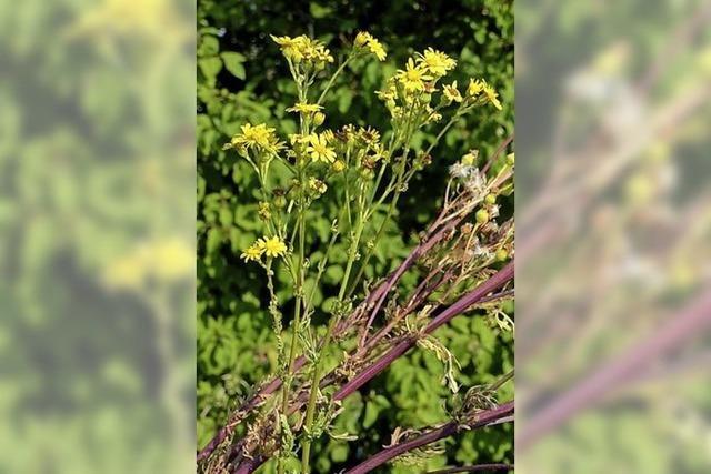 Giftpflanze tritt häufiger auf