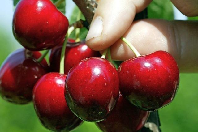 Konkurrenz aus der Türkei: Südbadische Kirschen-Anbauer sind frustriert