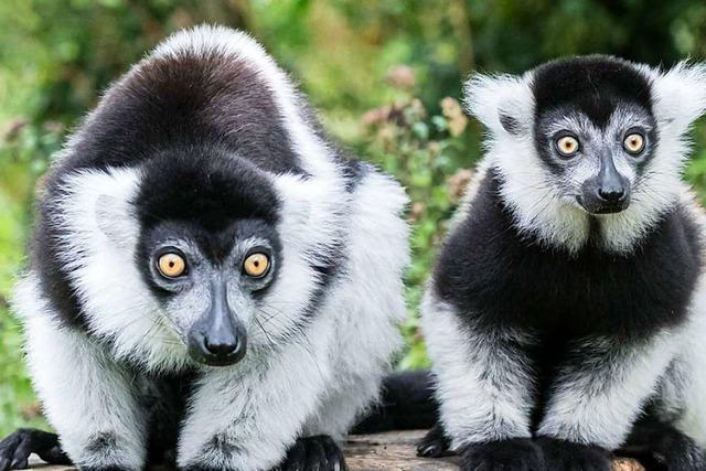 Varis im Zoo Basel – sie grunzen, quieken, bellen und heulen