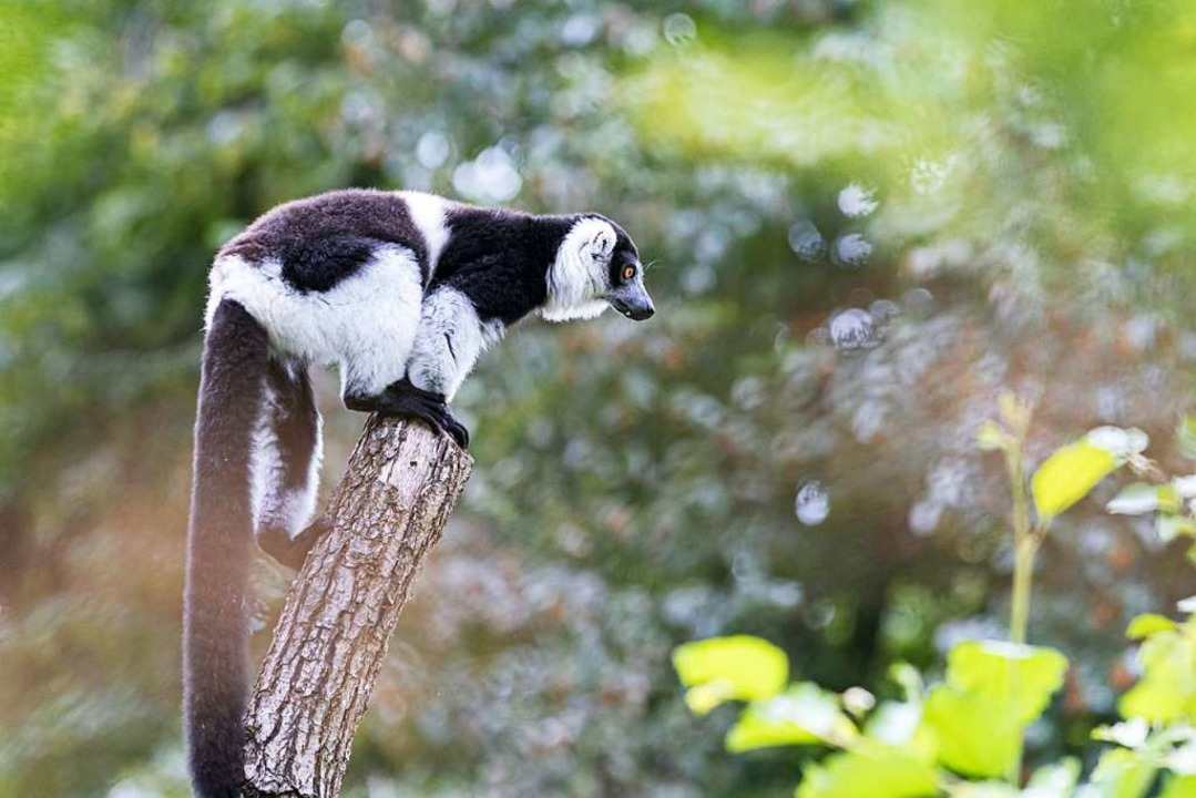 Varis im Zoo Basel  | Foto: Zoo Basel (Torben Weber)