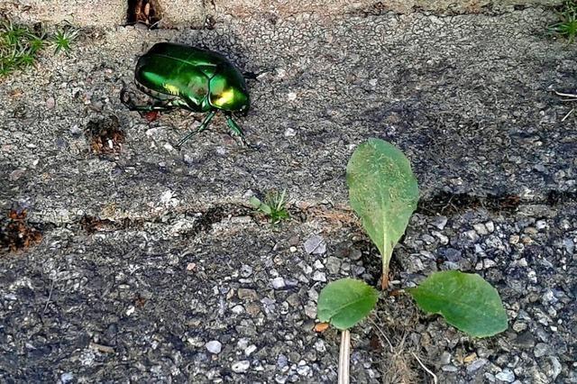 Schillernder Käfer in Heidis Garten