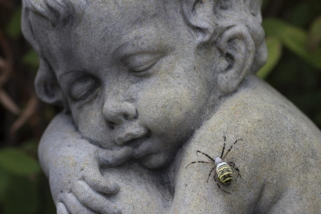 Wespenspinne im Garten entdeckt
