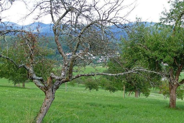 120 Kirschbäume mussten bei Huttingen gefällt werden
