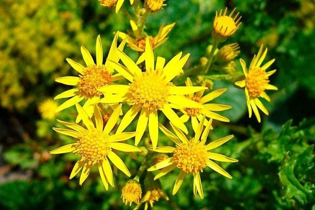 Ausstechen vor der Blüte ist das sicherste Hilfsmittel gegen das Jakobskreuzkraut