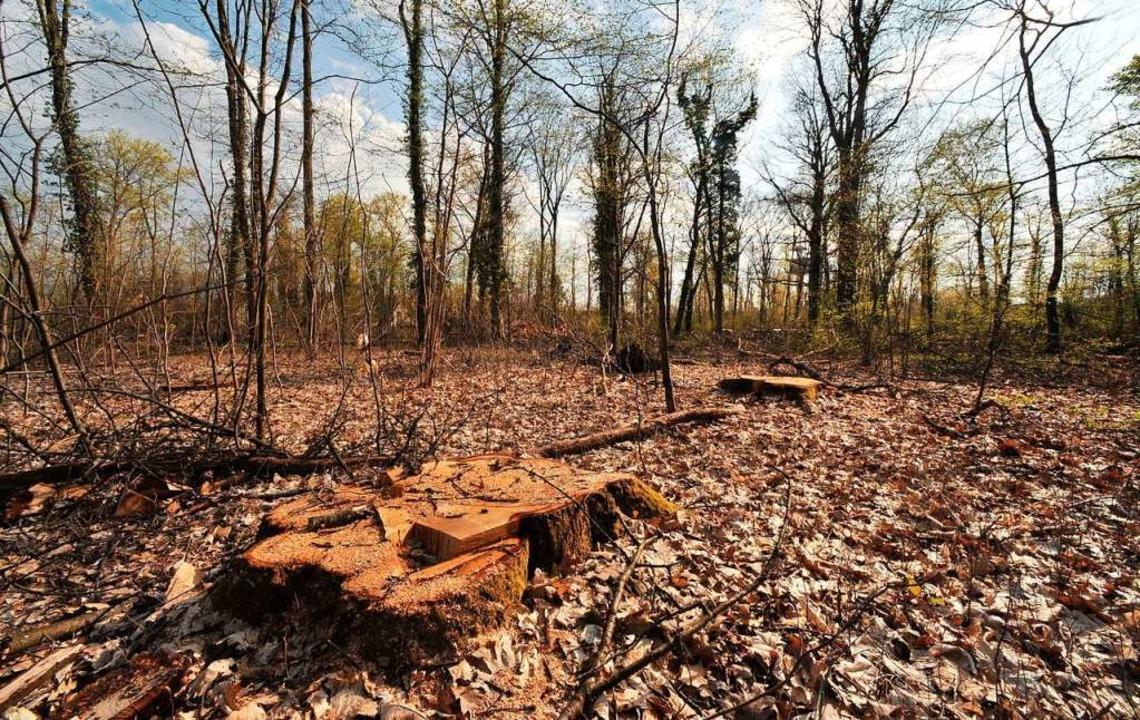Abgeholzter Mooswald? Dieses Szenario ...n müssten bis Oktober gefunden werden.  | Foto: Michael Bamberger